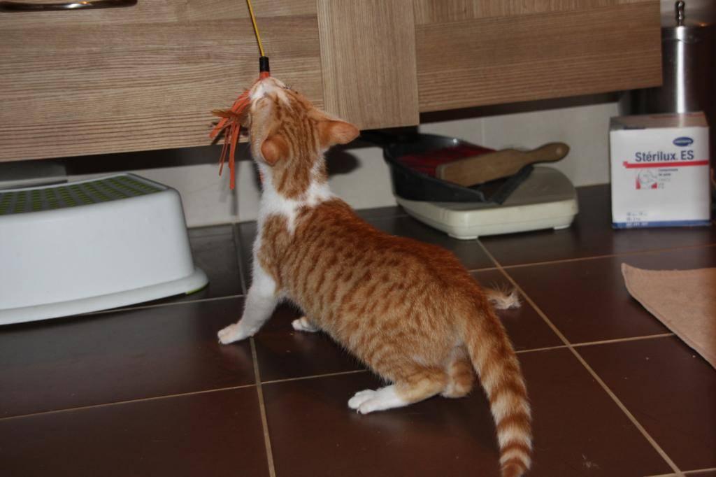 Miel (anciennement Luffy), mâle type européen roux et blanc né 15/10/2014 Luffy-3_zpsf40bd97c