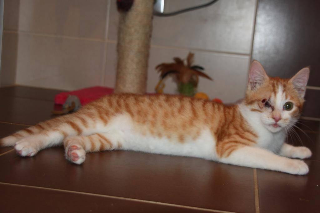 Miel (anciennement Luffy), mâle type européen roux et blanc né 15/10/2014 Luffy-5_zpscf7a75d8