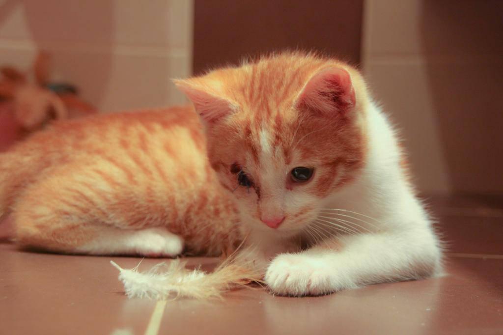 Miel (anciennement Luffy), mâle type européen roux et blanc né 15/10/2014 Luffy-6_zpsbedecc99