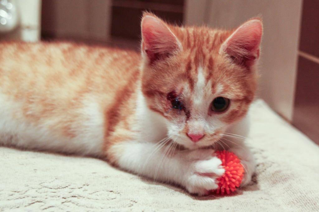 Miel (anciennement Luffy), mâle type européen roux et blanc né 15/10/2014 Luffy-7_zpsa600b60e