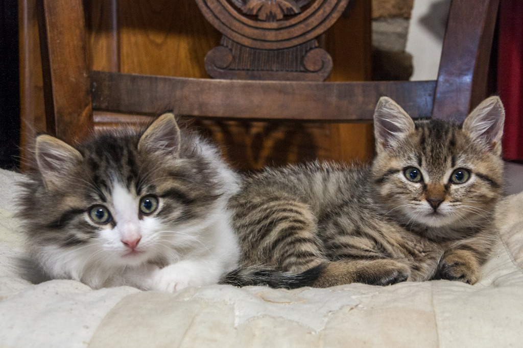 Mushu, mâle blanc et tabby angora né le 28/08/2016 Mushu%20amp%20Masha-5_zpstc4wznpk