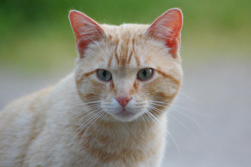 """Chat """"Oyé"""", mâle type européen roux clair marbré Oyeacute-8_zpsxc8zdmsb"""