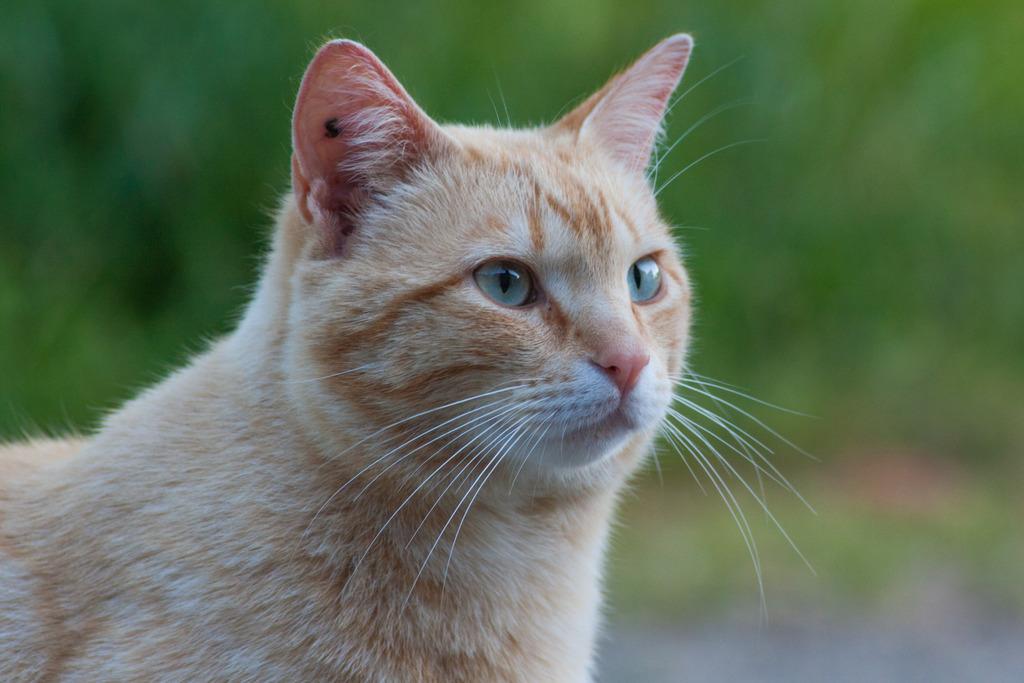 "Chat ""Oyé"", mâle type européen roux clair marbré Oyeacute-9_zpsycpvviz9"