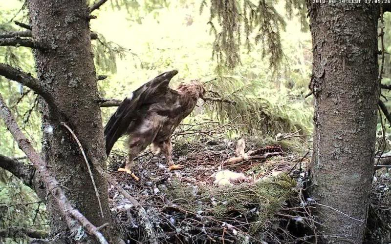 Estonian Lesser Spotted Eagles 2013 ~ Eha & Koit - Page 2 Vlcsnap-2013-06-14-17h05m36s196