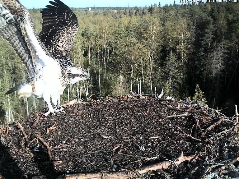 Osprey's nest in Estonia livestream - Page 2 Vlcsnap-2012-08-21-08h51m07s121