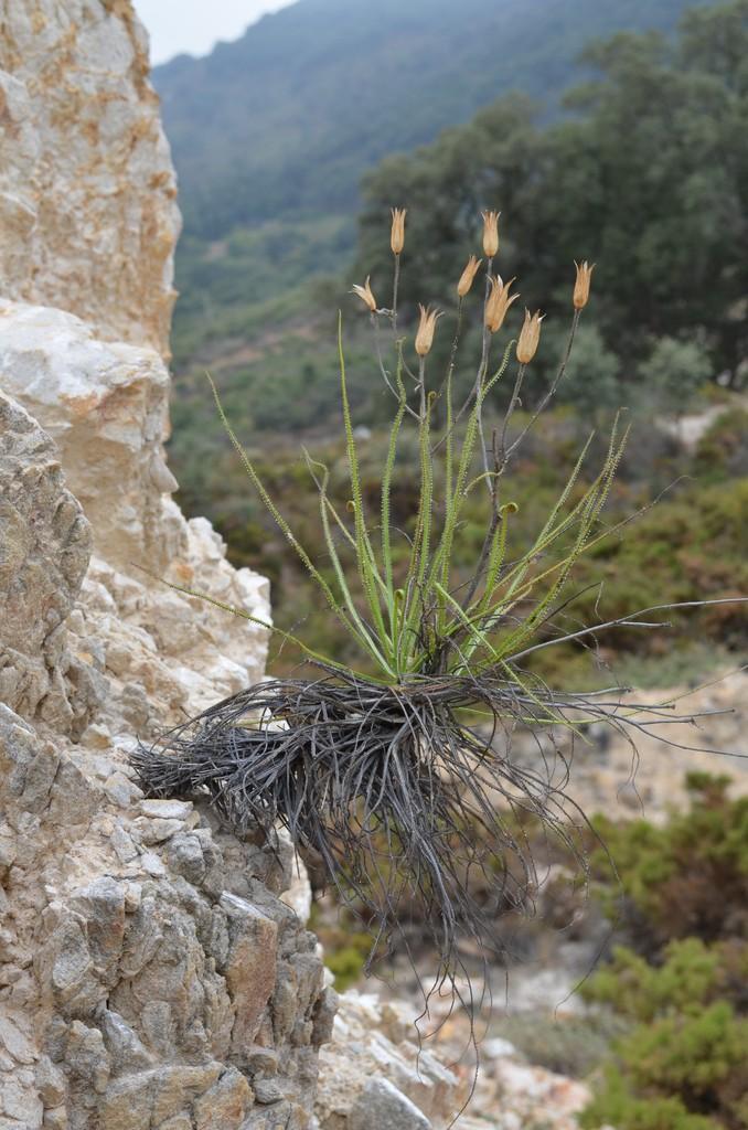 Drosophyllum en Andalousie 10droso_zps7ssljwur