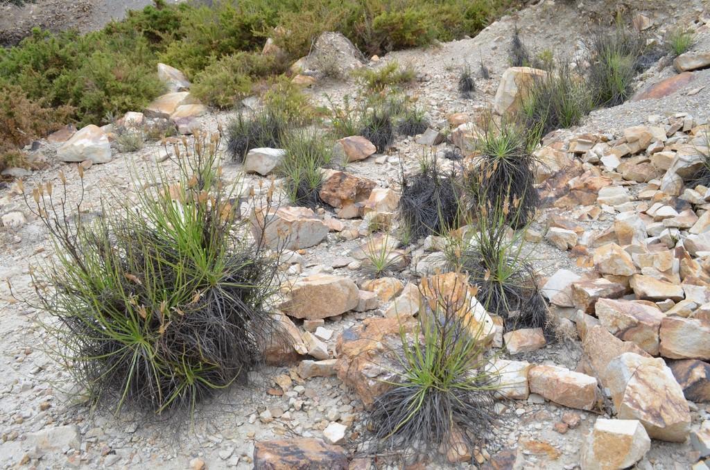 Drosophyllum en Andalousie 9droso_zpslvb1h222