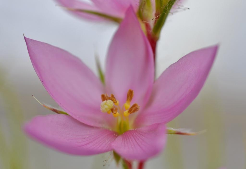 R. gorgonias DSC_0177%202_zpstvm7su1p