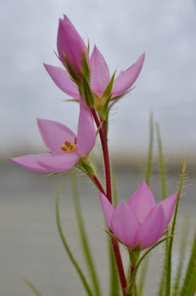 R. gorgonias DSC_0179%202_zpszizg23nm