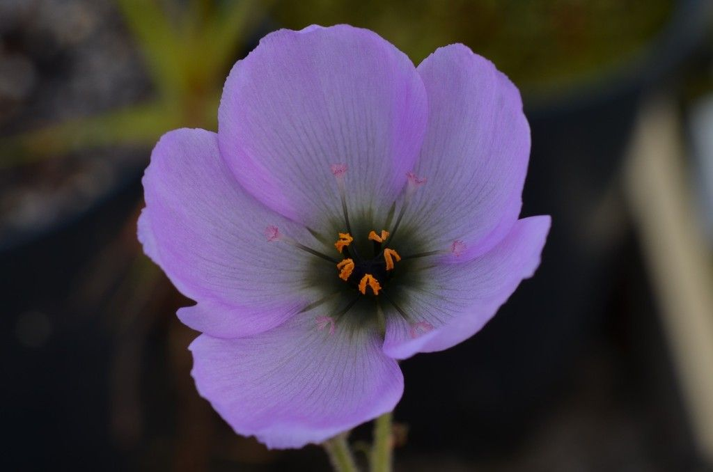 D. cistiflora DSC_0246_zpsuzchefa3