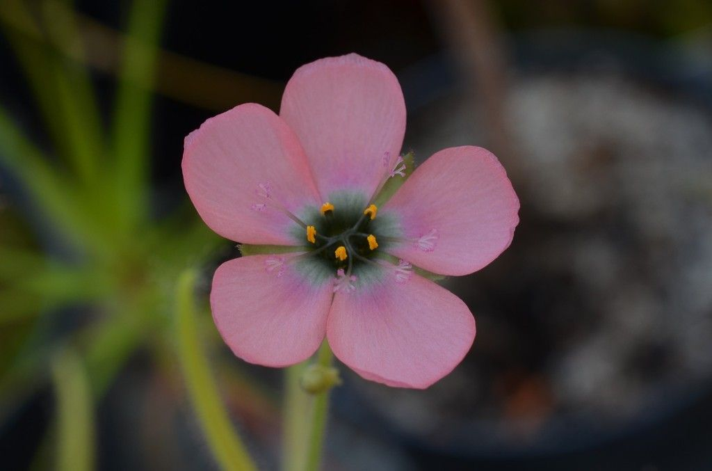 D. cistiflora DSC_0257%202_zpspsysh5ul