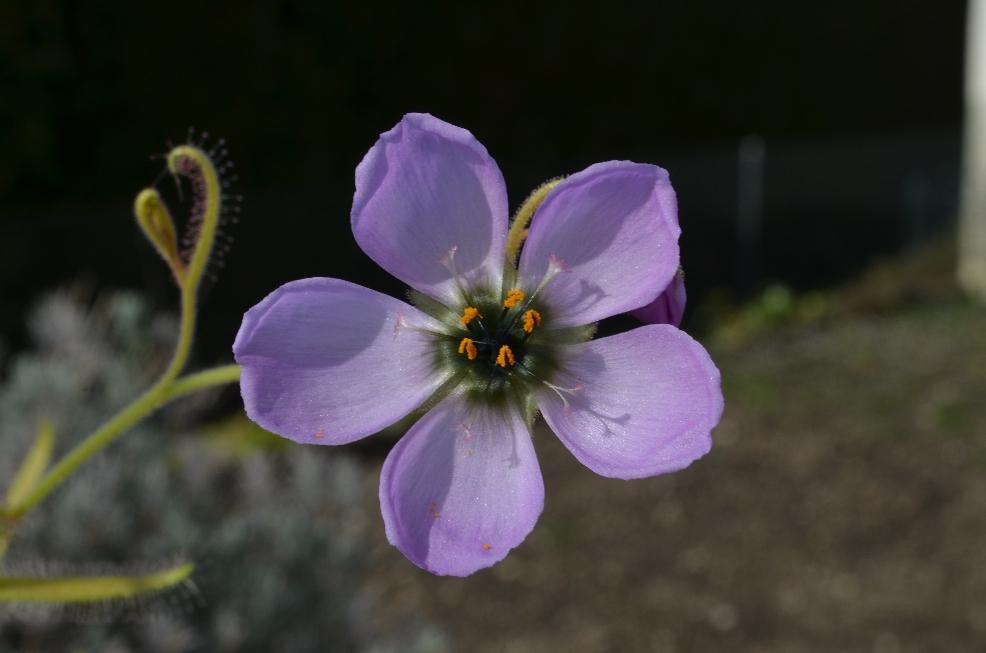 D cistiflora en fleur DSC_0299%202_zpsaxlnr57m