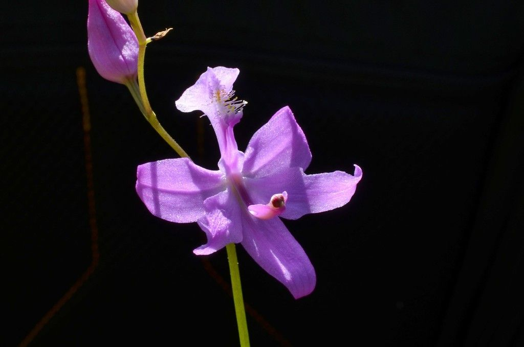 Orchidées de tourbière  DSC_0408_zpsuso35mqh