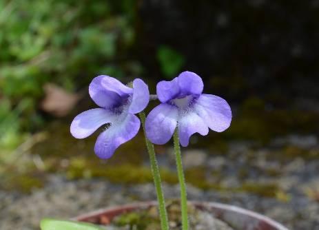 Ping en fleur DSC_0432%202_zpspo2bpw1u