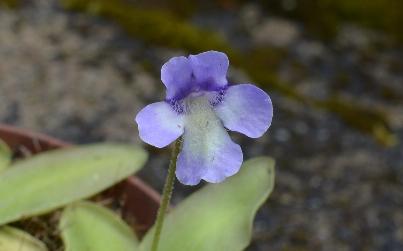 Ping en fleur DSC_0449_zpsswzowg3f
