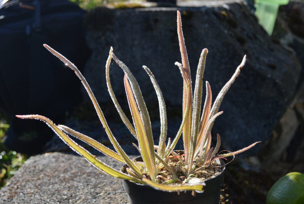 Pinguicula filiformes DSC_1309_zpsvlrqhoeh
