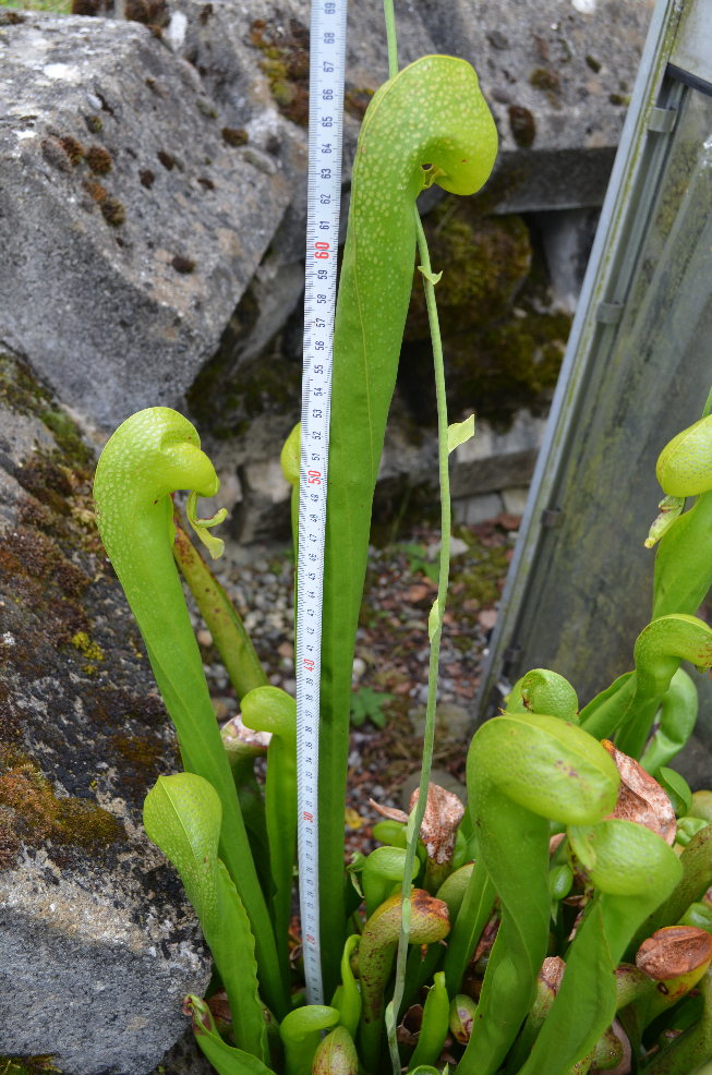 Darlingtonia californica  Darlingto1_zps4w6r2eqe