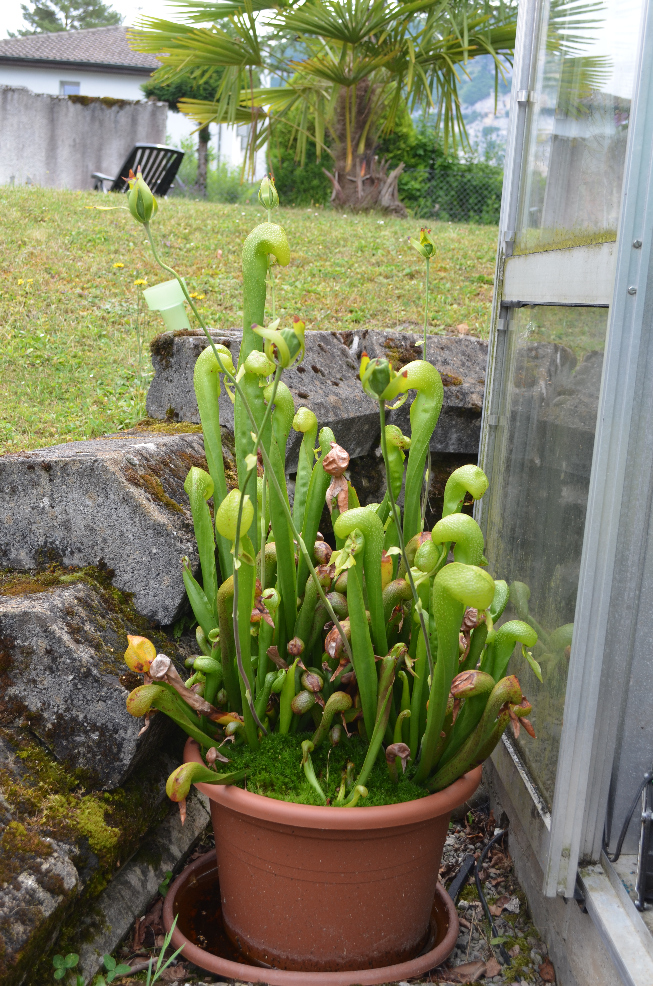 Darlingtonia californica  Darlingto_zpsjahdqvjx