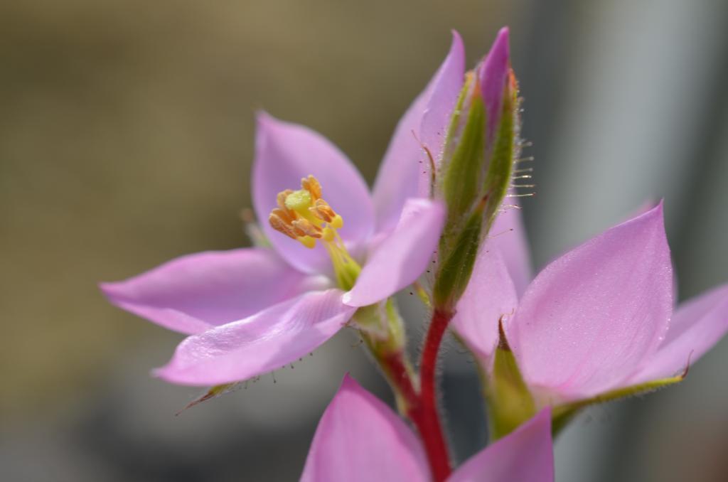 Roridula gorgonias suite R.%20gorgonias1_zpsffdnzz0b