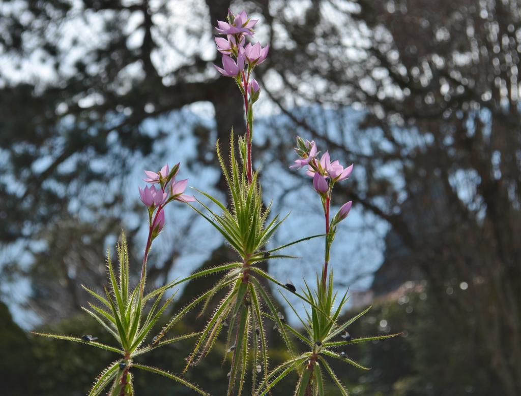 Roridula gorgonias suite R.%20gorgonias_zpsjorjipsd