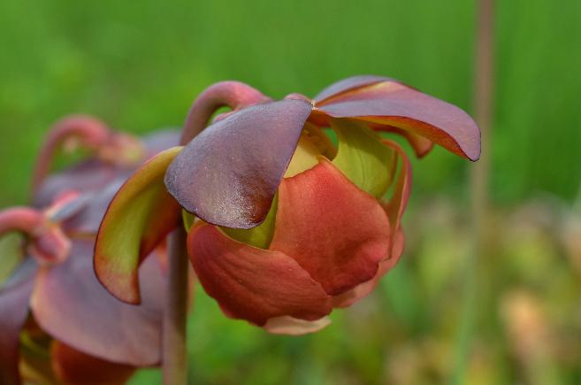 Visite de quelques sites de Sarracenia Sarra16_zpsyqnnpfux