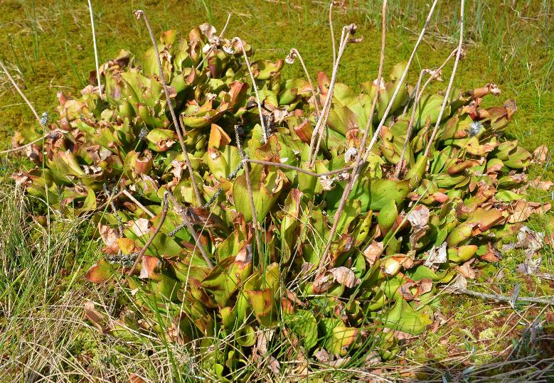 Visite de quelques sites de Sarracenia Sarra7_zpsel10fgpm