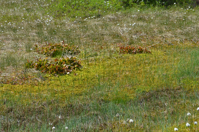 Visite de quelques sites de Sarracenia Sarra8_zpsjoqwpc4v