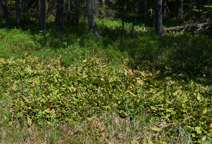 Visite de quelques sites de Sarracenia Sarracenia3_zpsamicaike