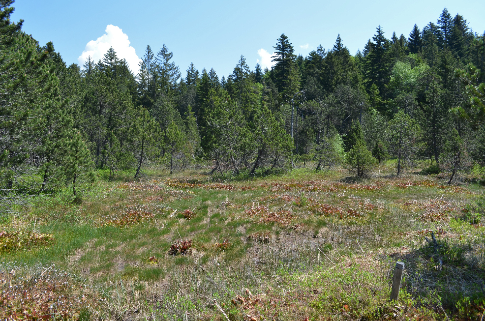 Visite de quelques sites de Sarracenia Sarracenia5_zpsmgkrd84l