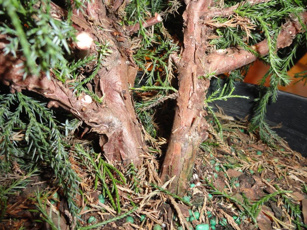 Mi primer  arbol de vivero a prebonsai (junipero chino) DSC01208