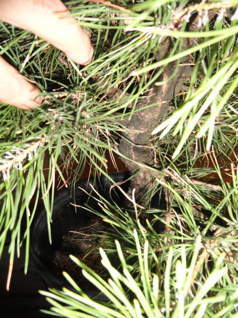PINO NEGRO (pinus thunbergii) DSC01270