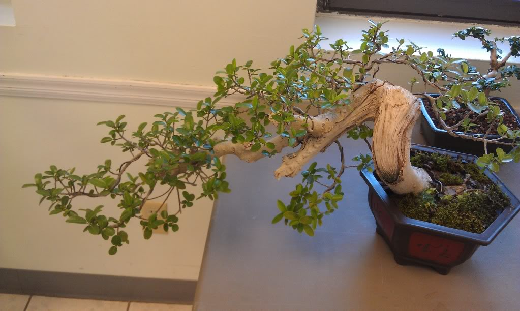 Mi primer visita aun club de bonsai IMAG0179