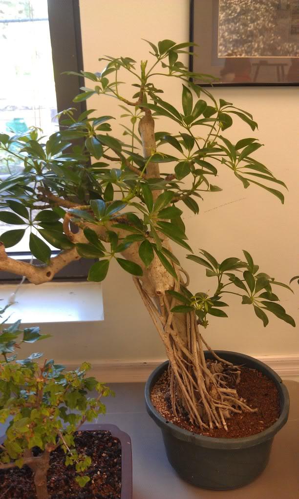 Mi primer visita aun club de bonsai IMAG0180