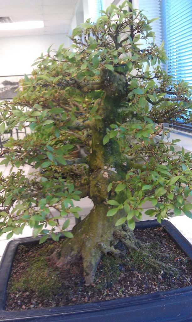 Mi primer visita aun club de bonsai IMAG0183