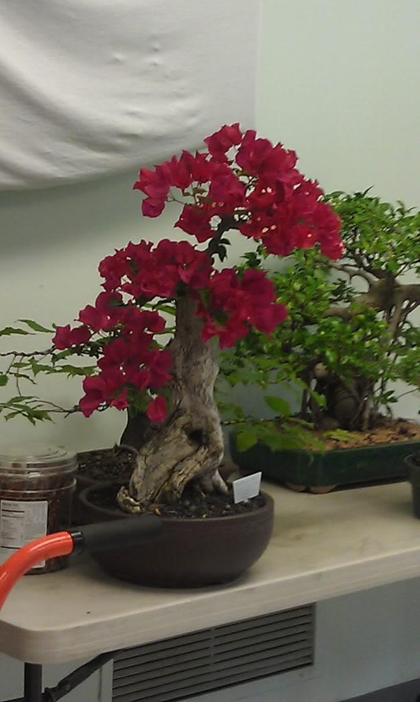 Mi primer visita aun club de bonsai IMAG0185