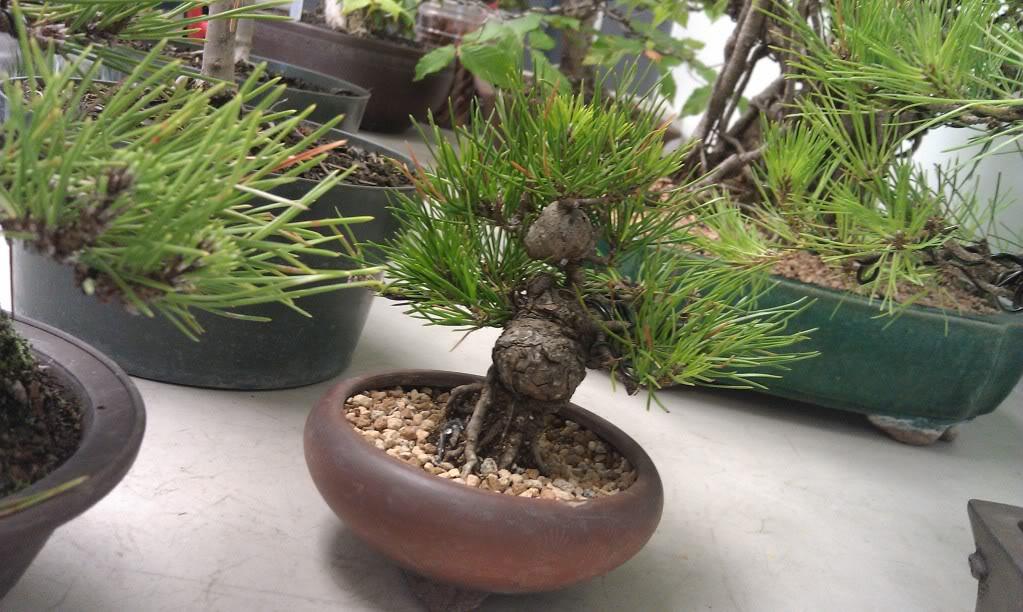 Mi primer visita aun club de bonsai IMAG0189