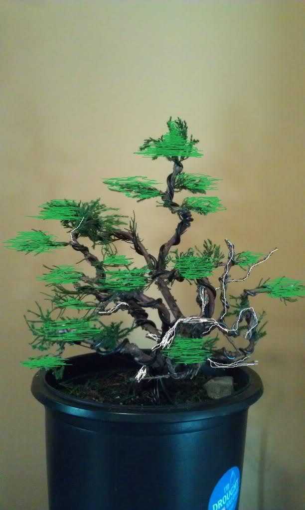 Mi primer  arbol de vivero a prebonsai (junipero chino) IMAG0614