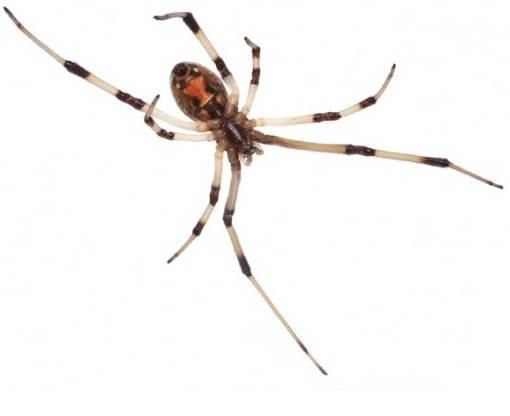 The Brown Widow Latrodectus-Geometricus2
