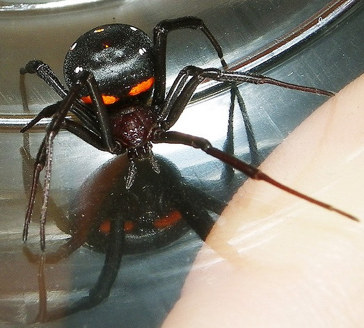 The Madagascar Widow Latrodectus-menavodi
