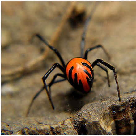 The Hellfire Widow LatrodectusExLaos