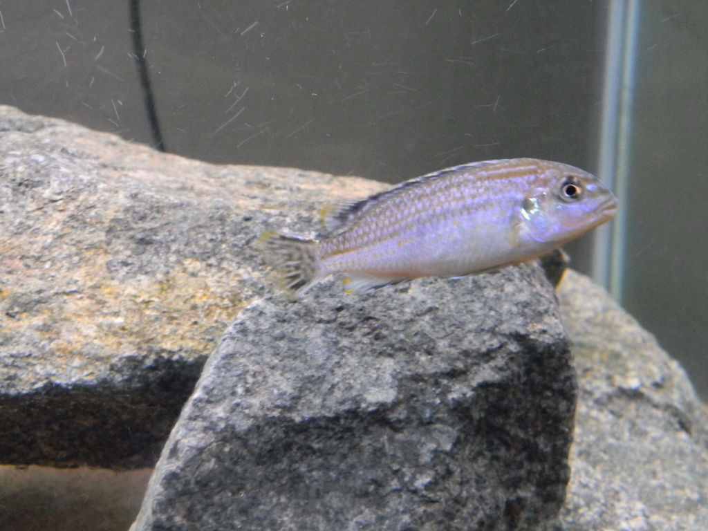 "my melanochromis dialeptos ""lumessi"" 039"