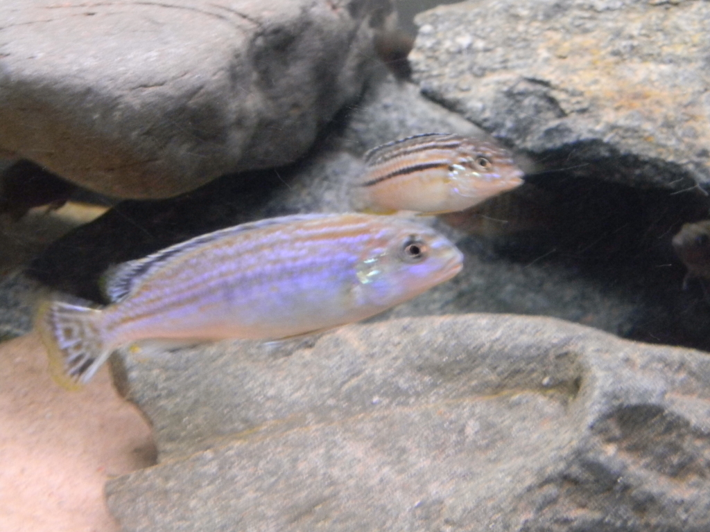 "my melanochromis dialeptos ""lumessi"" 040"