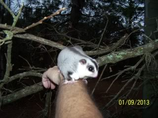 Definitions of sugar glider behaviors updated Buddyoutdoorswithdaddfirsttimein20131-9-13004