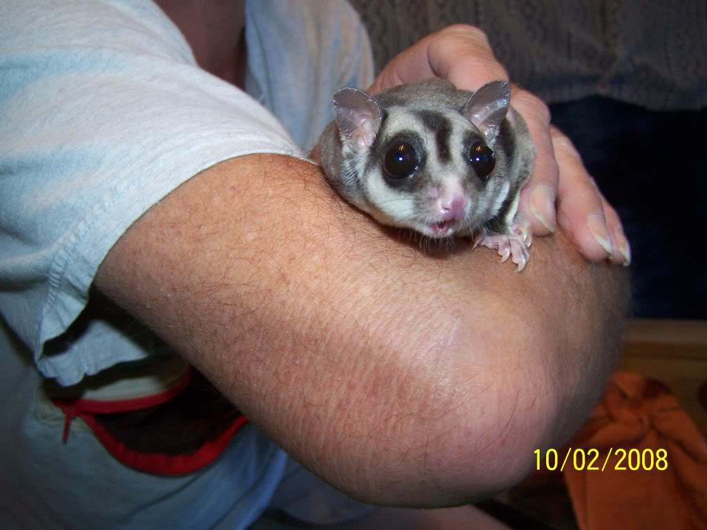 First sugar glider Suggie Suggie9andhergranddaughter004