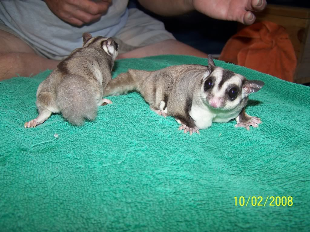 First sugar glider Suggie Suggie9andhergranddaughter011