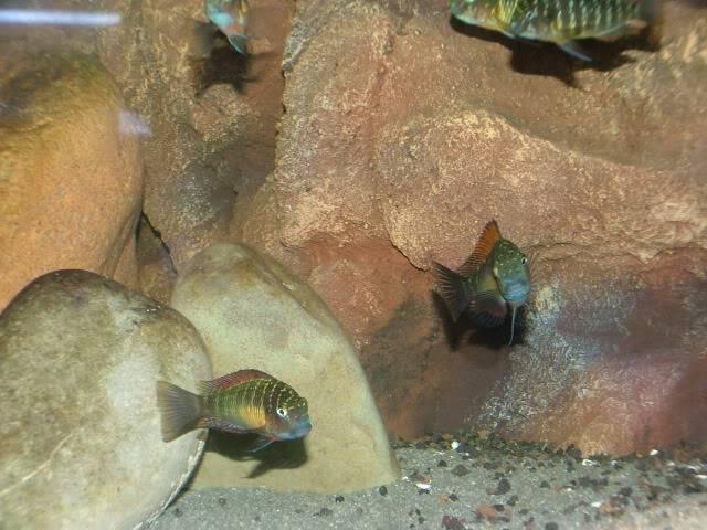 Tropheus tank pic  Cichlids009