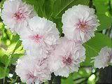 Hanami : la contemplation des fleurs Th_100petales