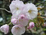 Hanami : la contemplation des fleurs Th_20petales