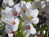 Hanami : la contemplation des fleurs Th_5petales