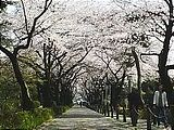 Hanami : la contemplation des fleurs Th_aoyama